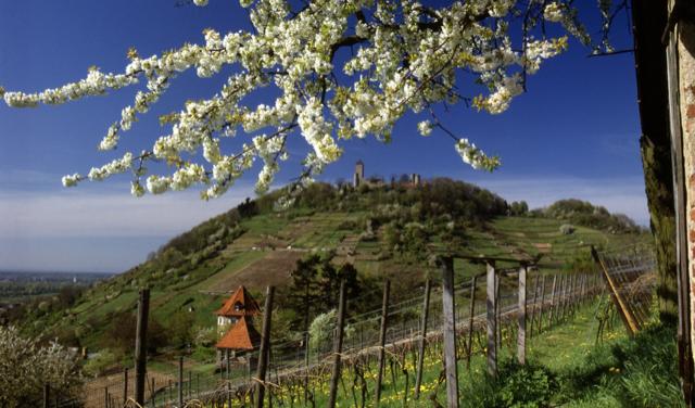 Riesling-Weinberg in Rheinhessen - die Starkenburg