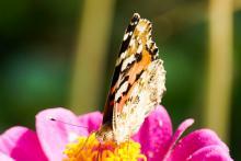 Distelfalter auf Blüte Bildquelle: Antje Schade