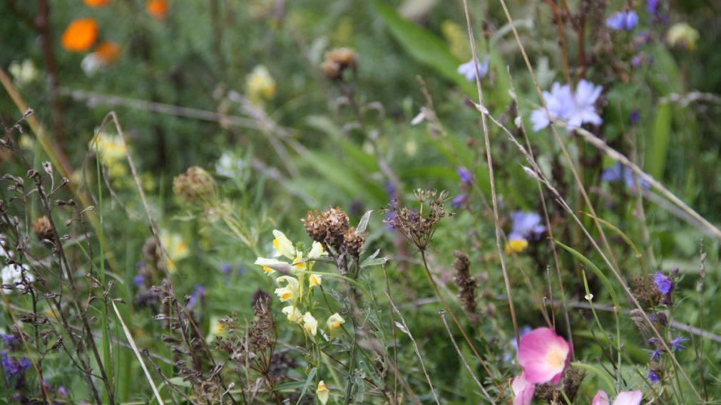 Wiese mit Blüten von Schlafmützchen und anderen Wildstauden
