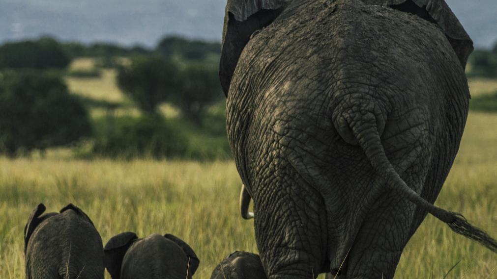 Elefantenfamilie in Uganda. Foto: Timo Knöfel